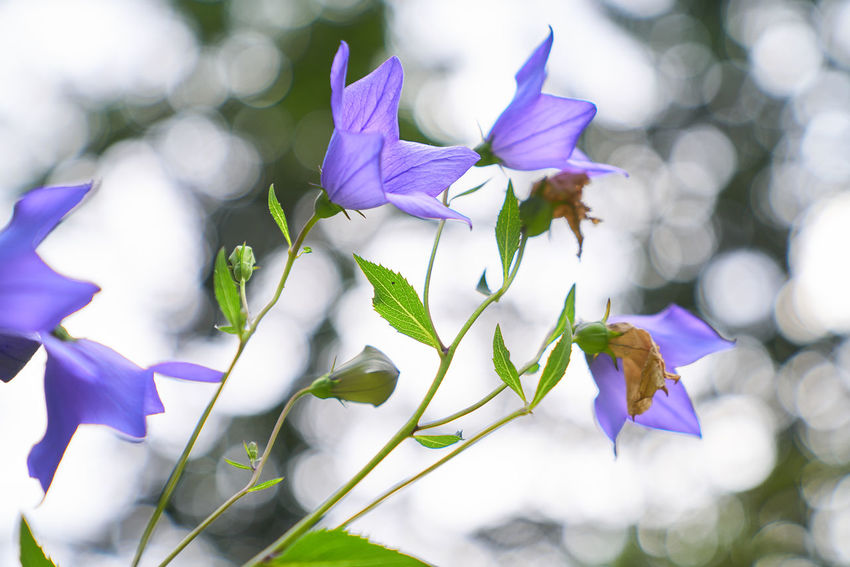 Blüten mit Bokeh Beauty In Nature Close-up Day Flower Flower Head Flowering Plant Focus On Foreground Fragility Freshness Nature No People Outdoors Plant Plant Part Purple Selective Focus Vulnerability