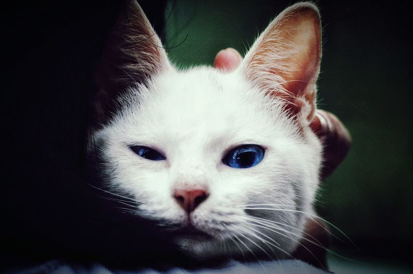 Blue-eyed cat Domestic Cat Domestic Animals Feline Mammal Pets Eyeem Philippines Nikond90 Nikon Collection Pets Domestic Animals One Animal Animal Themes Feline Mammal