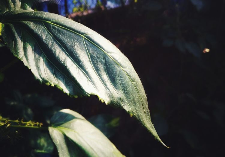 Leaf Plant No People Close-up Nature Outdoors Fragility Freshness Day Growth Veins In Leaves Soft Glow Details Sharpness Shades Of Green  Macro_collection