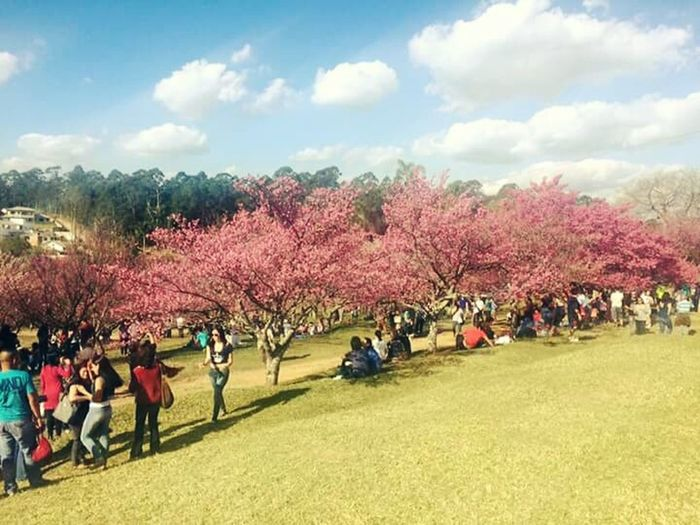 Festivaldascerejeiras Fimdesemana Saoroque Cherry Tree Cerejeiras Em Flor Relaxing