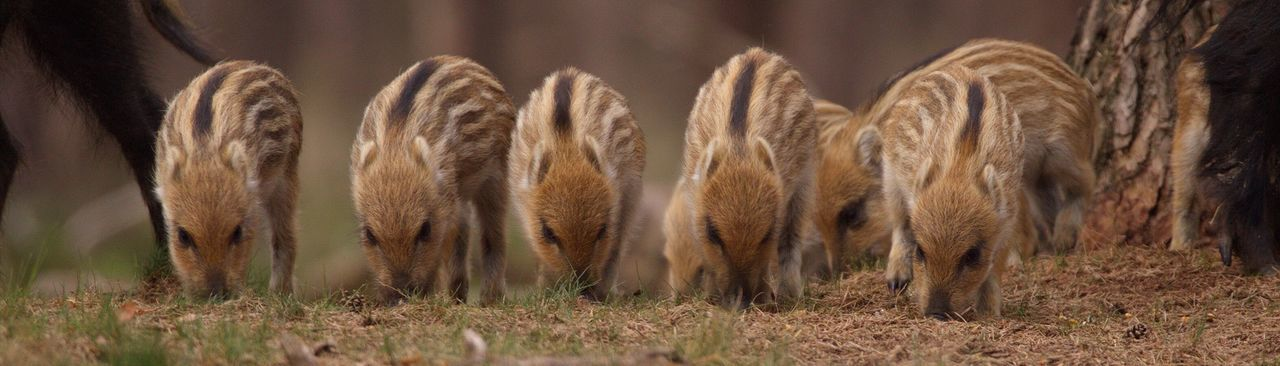 Panoramic view of wild boar piglets on field