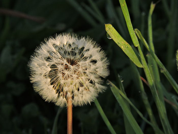 Raindropshot Dandelion Seeds Plant Close-up Growth Beauty In Nature Flower Fragility Vulnerability  Focus On Foreground Flowering Plant Freshness Nature Dandelion Flower Head No People Inflorescence Day Green Color Plant Stem Outdoors Dandelion Seed Softness Wilted Plant