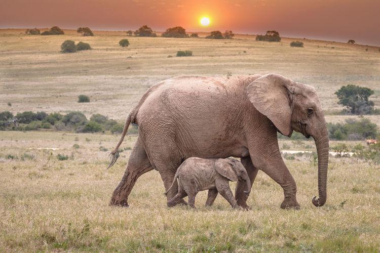 Elephant in a field