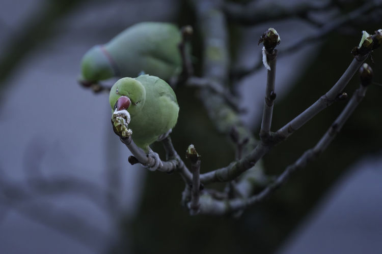 The non-native birds are destroying our beautiful chestnuts before the leaves get any chance of coming out ..... Chestnut Eating Ring-necked Parakeet Avian Beauty In Nature Bird Branch Bud Close-up Day Flower Focus On Foreground Food Food And Drink Freshness Fruit Green Color Growth Nature No People Outdoors Plant Selective Focus Tree Twig