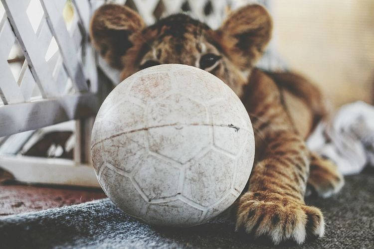 Close-Up Of Lion With Ball