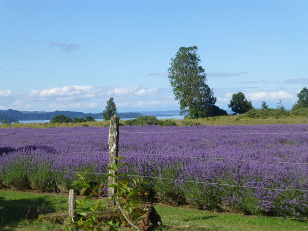 Agriculture Beauty In Nature Blossom Chile Farm Field Flower Flower Head Fragility Freshness Growth Idyllic Landscape Lavender Lavender Colored Nature No People Outdoors Plant Purple Rural Scene Scenics Sky Springtime Tranquil Scene