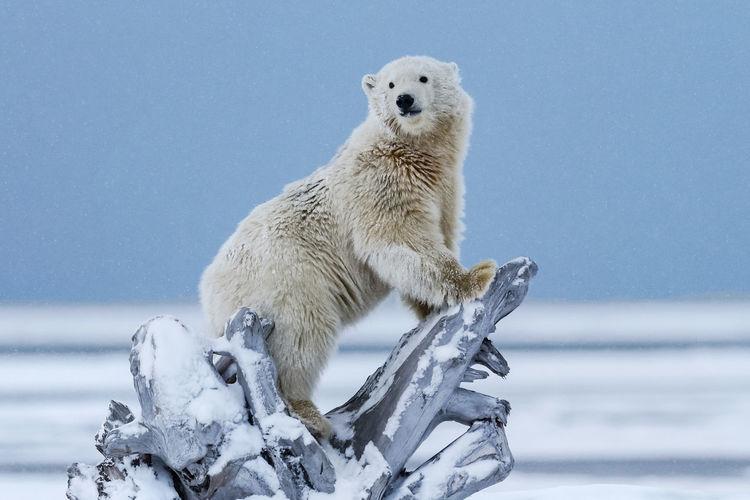 Side view of polar bear on fallen tree