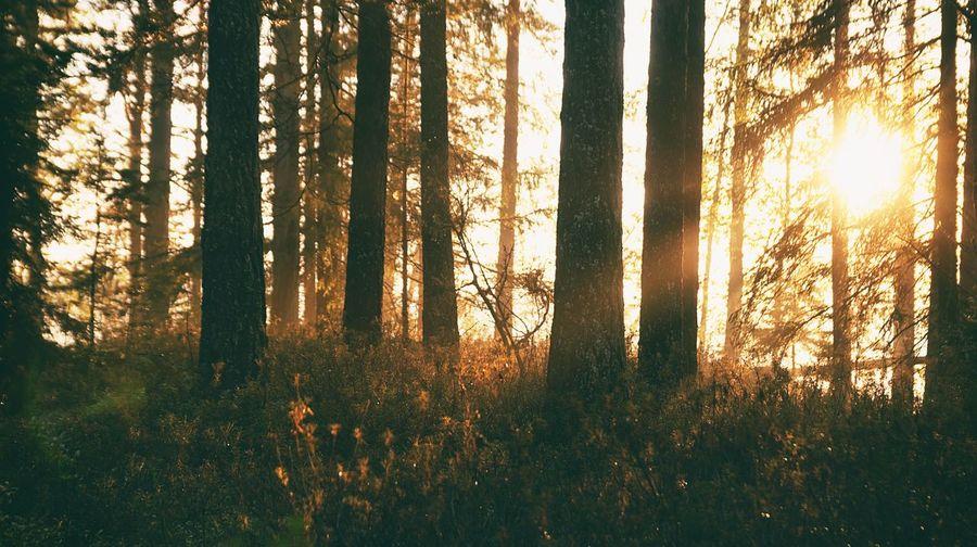 Nature Landscape Beauty In Nature EyeEm Best Shots EyeEm Nature Lover Tree Sunset Forest Tree Trunk Forest Fire Plant Part Dawn Sunlight WoodLand Sky Coniferous Tree Wilderness Area