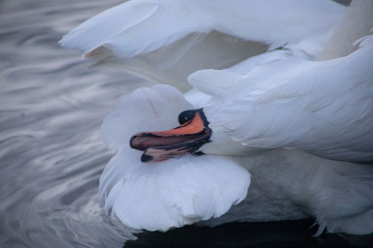 High angle view of swan in lake