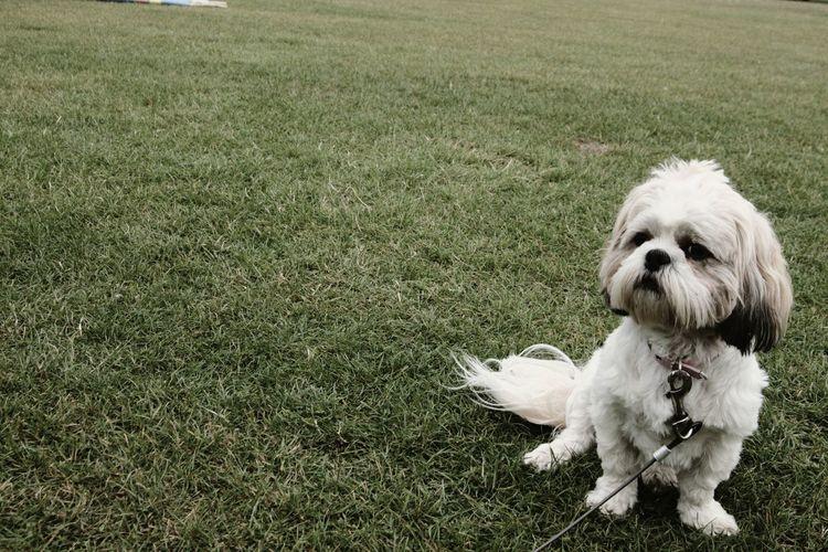 my prefect girl. shih tzu Pets Portrait Dog Sitting Grass Shih Tzu Lap Dog