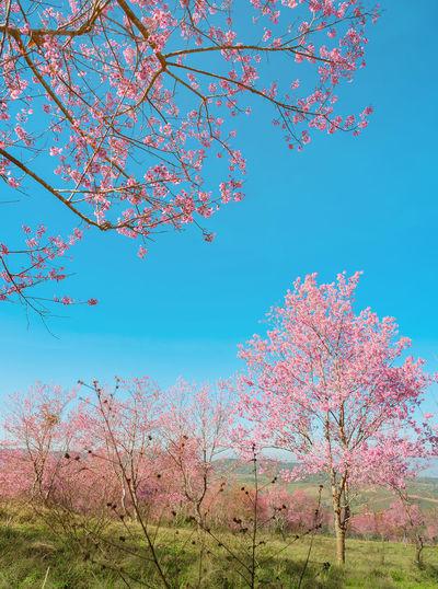 Cherry blossom tree against blue sky