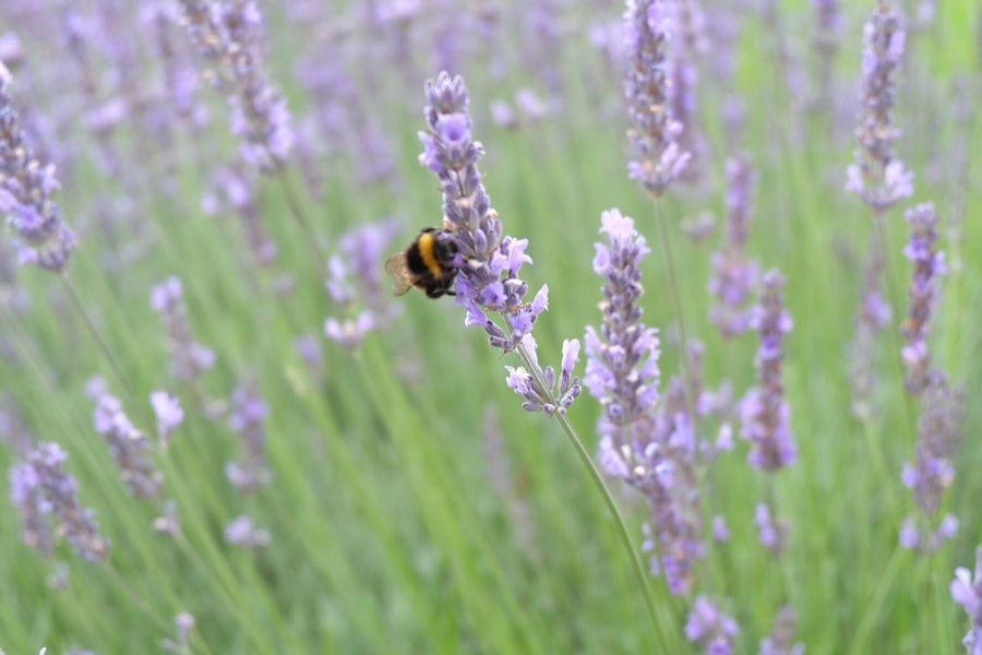 Nature 自然 Bee 蜂 😚 Lavender ラベンダー