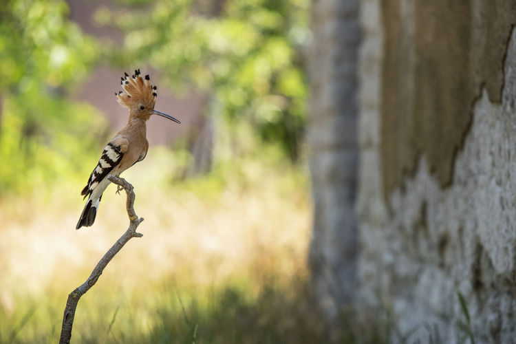 Animal Animal Themes Animal Wildlife Animals In The Wild Bird Branch Day Focus On Foreground Hoopoe Hoopoe Bird Nature No People One Animal Outdoors Plant Side View Squirrel Tree Tree Trunk Trunk Vertebrate Woodpecker