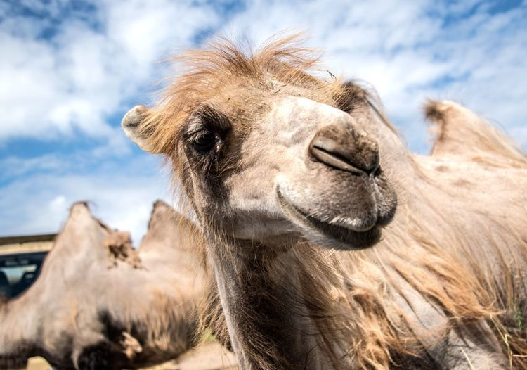 Portrait of camels against sky