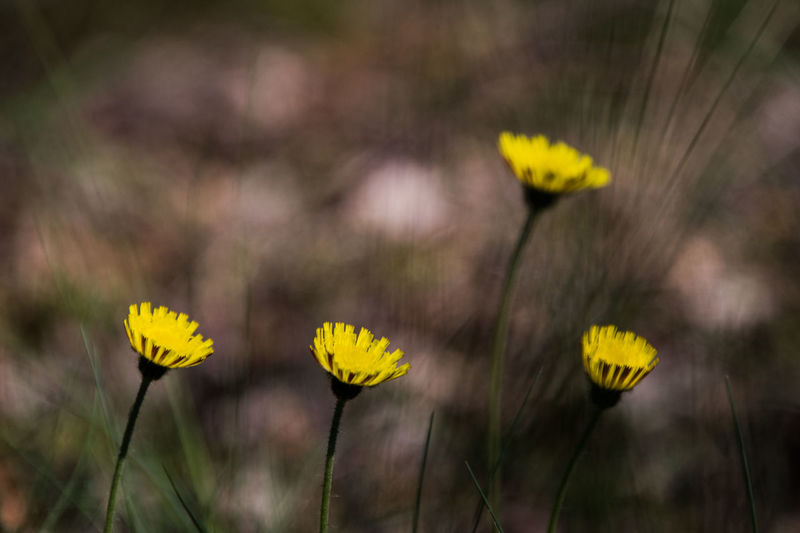 Flower Yellow Plant Flowering Plant Freshness Growth Fragility Vulnerability  Flower Head Beauty In Nature Petal Nature Close-up Inflorescence Field Focus On Foreground Day Land Outdoors No People