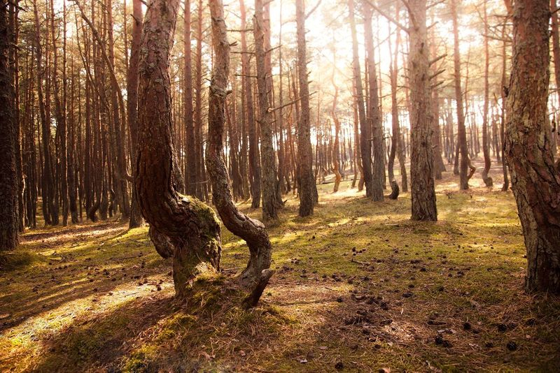 Even trees can dance The Great Outdoors - 2016 EyeEm Awards Nature Hugging A Tree Tree Good Morning Dancing Forest Forest Nature On Your Doorstep Nature_collection Nature Photography Naturelovers Starting A Trip Outdoors Kenigsberg калининград куршскаякоса куршская коса танцующий лес Traveling Travel