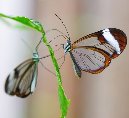 Butterfly Bokeh Glasswing Butterfly Greta Oto Butterfly Animal Themes Animals In The Wild One Animal Focus On Foreground No People Animal Wildlife Butterfly - Insect Close-up Leaf Nature Beauty In Nature