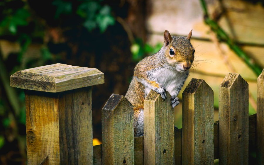 Sumo the Grey Squirrel pops over the fence for a chat. Nice crisp details. Very cute. Squirrel Squirrel Photo Animal Animal Themes Animal Wildlife Animals In The Wild Bark Barrier Boundary Close-up Day Fence Focus On Foreground Mammal No People One Animal Post Rodent Squirrel Squirrel Closeup Squirrels Tree Vertebrate Wood - Material Wooden Post