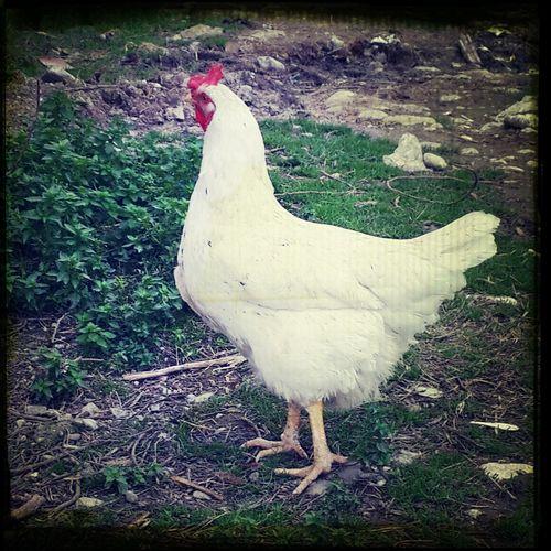 Animal Life Chicken Chicken.