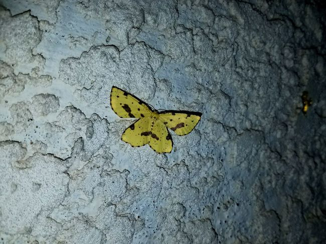 Outdoors Nature Close-up No People Summertime Fragility Freshness Beauty In Nature Moths Nightphotography Night Yellow Yellow Color Day One Animal Animal Themes Animals In The Wild