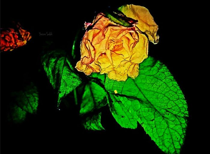 Rose♥ Rose🌹 Roses Yellow Rose Yellow Roses Yellow Rose🌹 Yellow Flower Roses Flowers  Roses_collection Roses Photography Flowers Flower Flowers Colection Flowers Photography Flowers_collection Flower Collection Flowers, Nature And Beauty Flowerlovers Close-up Closeup EyeEm Flower Black Background Smartphone Photography Mobile Photography Darkness And Light🌷💐🌸