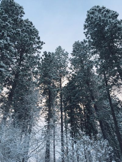 Tall trees early morning light snow. Snow Season  Outdoors Nature Trees Frost Winter Snowy Chill Winter Looking Up Frosty Trees Seasonal Scenic No One Winter Scenic Freeze Fresh Air Day Beautiful Day Pine Trees Conifers Snow Covered Trees It's Cold Outside