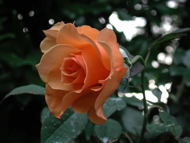 Beauty In Nature Blooming Close-up Flower Flower Head Focus On Foreground Fragility Freshness Growth In Bloom Leaf Nature No People Orange Color Park - Man Made Space Petal Plant R.tullis Rosé Rose - Flower Single Flower