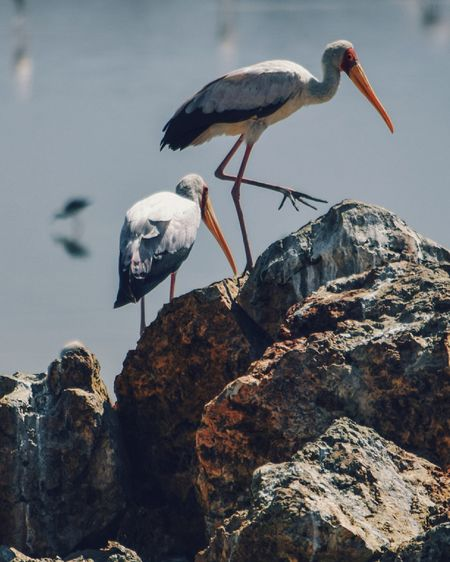 Yellow-billed stork at lake magadi, rift valley, kenya