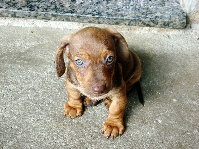 Dachshund One Animal Dog Animal Themes Pets Domestic Animals Mammal Looking At Camera Portrait Day No People Outdoors Sitting Close-up