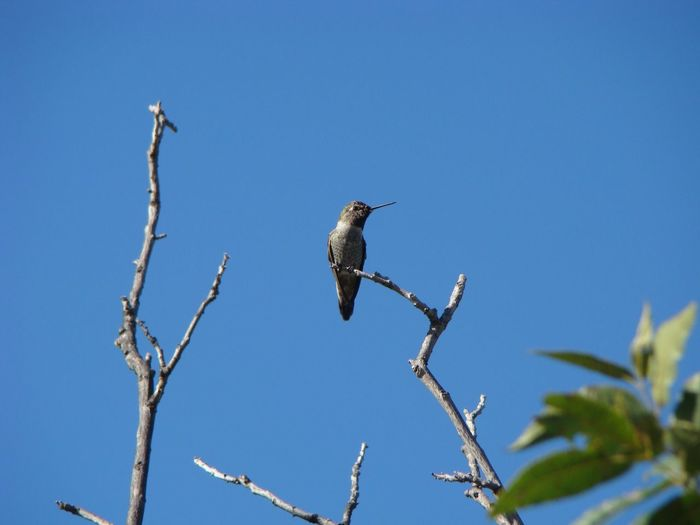 Low angle view of hummingbird perching on branch against clear sky