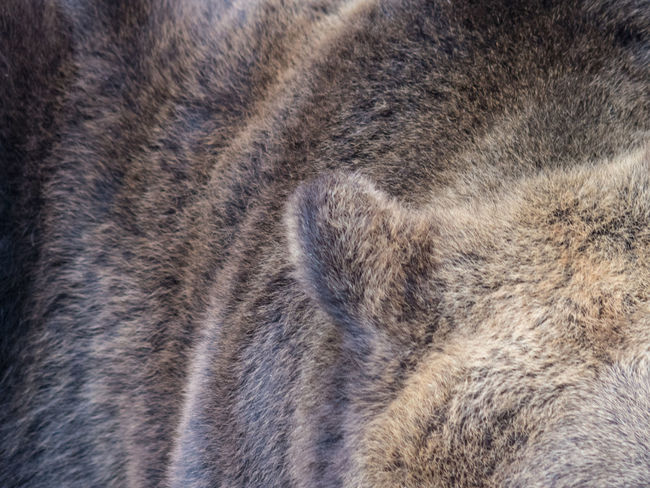 Animal Animal Body Part Animal Head  Animal Photography Backgrounds Bear Bearskin Brown Castlemoat Close Up Close-up Copy Space Cozy Details Ear Hair Listening Minimalism Pattern Simple Photography Skin Soft Warm Wildlife