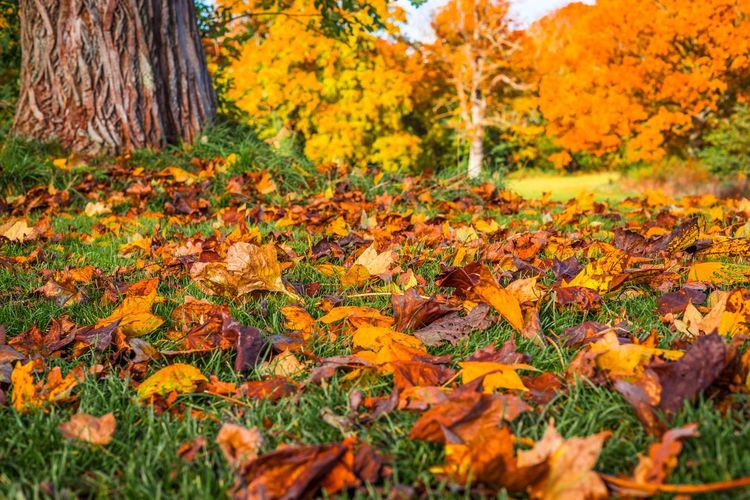 Autumn leaves underneath a large tree in the park Park Colors Tree Autumn Fall Season  Autumn Plant Change Orange Color Tree Beauty In Nature Land Forest No People Day Tranquility Field Scenics - Nature Outdoors Growth Nature Plant Part Trunk Tree Trunk Leaf