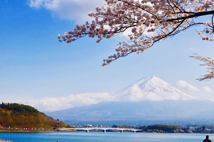🌸🗻🌸  and Sakura Beauty In Nature Cherry Blossoms Scenics Sky Nature Water Outdoors Springtime Tranquility Blossom Japan Photography Japan Photos Landscape Fujikawaguchiko Japan