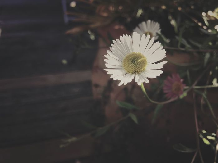Slow fade Flower Nature Growth Petal Flower Head Fragility Beauty In Nature Pollen Freshness Close-up Plant No People Blooming Outdoors Day Daisy Potted Plant Growth Faded Nature Plant Freshness Flowers Daisies White Flower