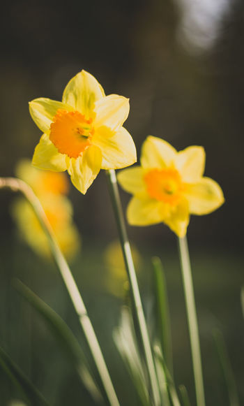 Flowering Plant Flower Plant Fragility Yellow Vulnerability  Growth Freshness Beauty In Nature Petal Close-up Nature Flower Head Inflorescence Outdoors Day No People Focus On Foreground Springtime Spring Flowers Daffodil Daffodils Flowers Flower Collection Seasonal Nature On Your Doorstep