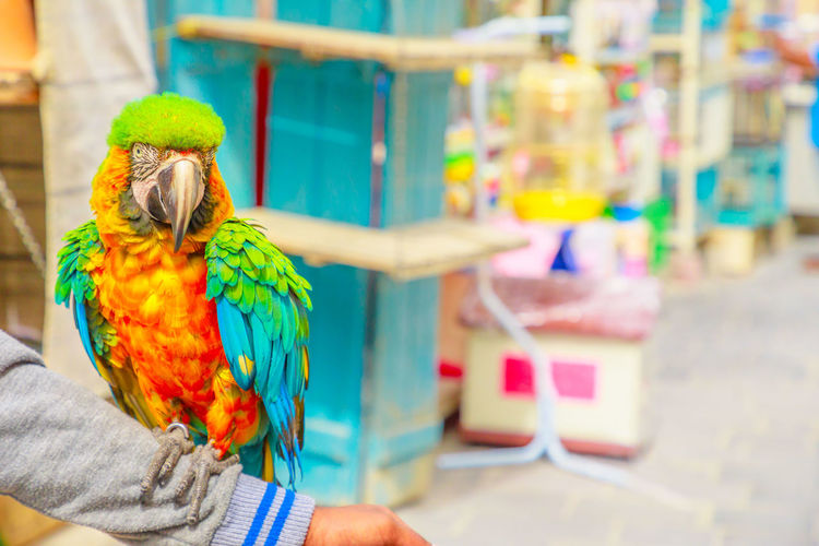 A colorful parrot standing on an arm at Bird Souq inside Souq Waqif, the old market tourist attraction in Doha center, Qatar, Middle East, Arabian Peninsula. Blurred background. Brazil Brazilian Parrot Bird Market Shop Animal Themes Animal Colorful Standing Arm Souq Souq Waqif Qatar Brazilian Parrot Vertebrate Animal Wildlife Focus On Foreground One Animal Animals In The Wild Multi Colored Perching Hand Day Human Hand Real People One Person Close-up Outdoors Human Body Part Rainbow Lorikeet