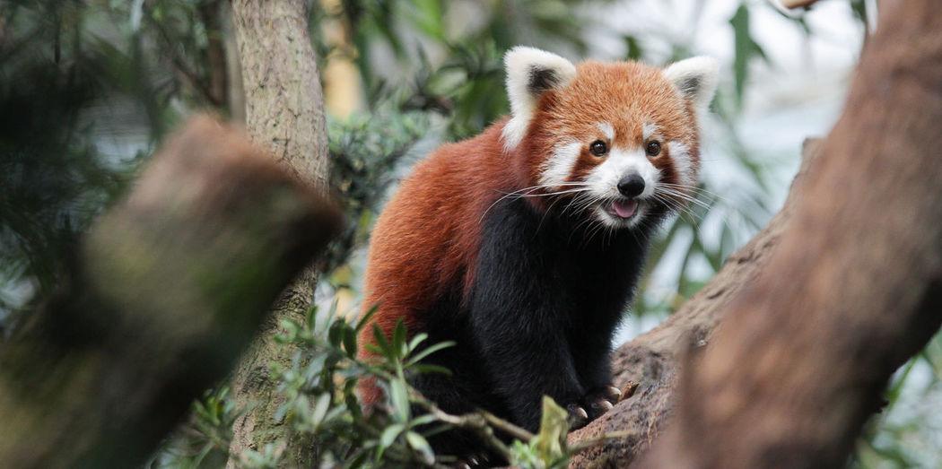 Adorable Cuteness Nature Red Panda Selective Focus Singapore Singapore Zoo Wildlife Showcase July