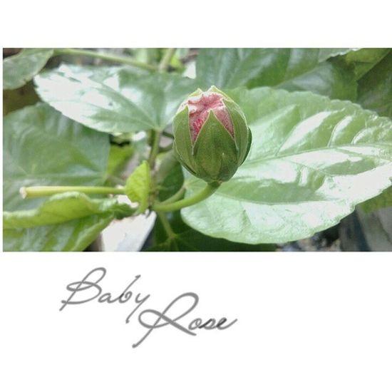 Baby rose Rosé Babyrose Mawar Bungamawar bunga art photography potretiseng potret motret