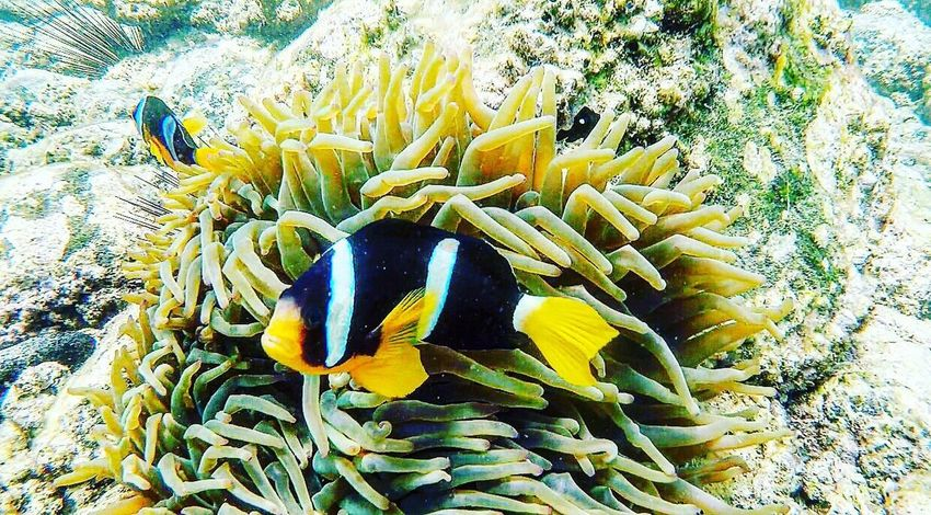 Underwater UnderSea Sea Life Coral Nature Sea Animal Wildlife Animals In The Wild Sea Anemone Animal Themes Beauty In Nature Clown Fish Yellow Water Close-up Outdoors Day