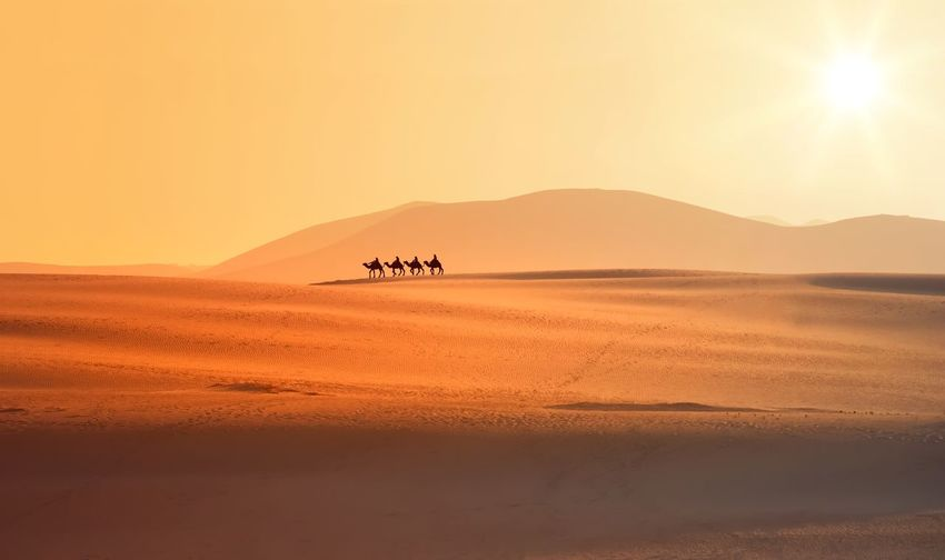 People riding camels on desert against sky during sunset