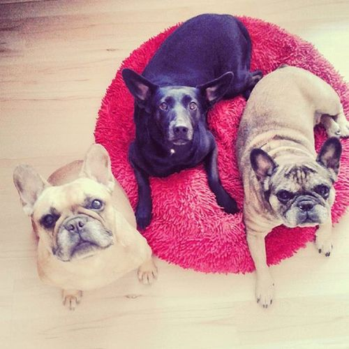 MY SQUAT OF PIGGIES 🐱🐺🐱😊 Dog Instadog MyLoves MyCrew Frenchie Frenchbulldog Bulldogsofinstagram Bulldog Barunik Mirek Sosana Trihajtry Dostalinabancino Zeroukocicihovna Asidelikatesa Prasepsi 🙅🙅