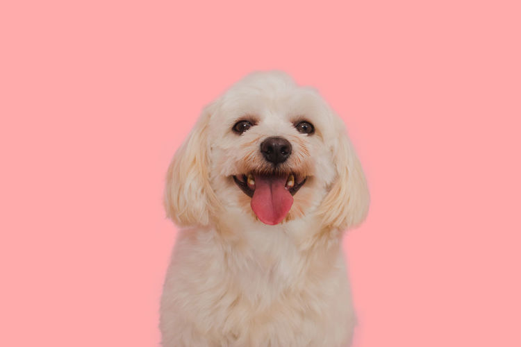Close-up portrait of a dog against pink background