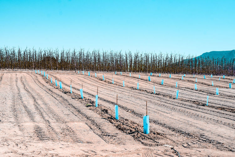 a plantation of young trees Agriculture Arid Climate Arid Landscape Dry Soil Saplings Rows Of Things Plastic Blue Mountain Range Mountains Sunny Springtime Murcia Plant Plantation Orchard Garden Peach Trees SPAIN Protection Young Trees