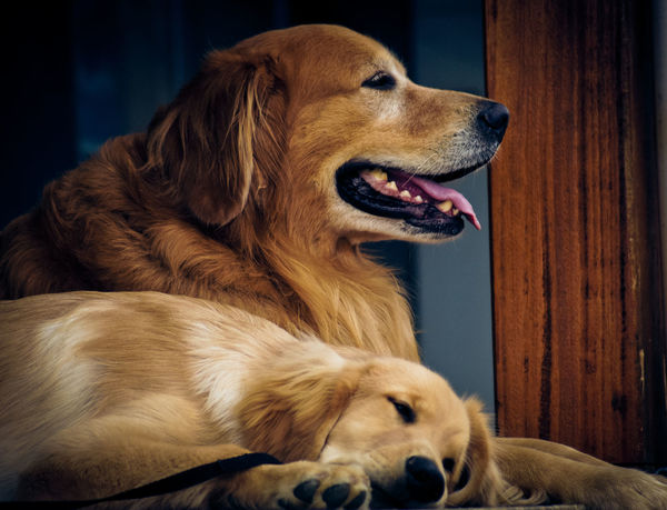 Dogs Of EyeEm Animal Themes Canine Close-up Dog Domestic Animals Pets Relaxation Retriever