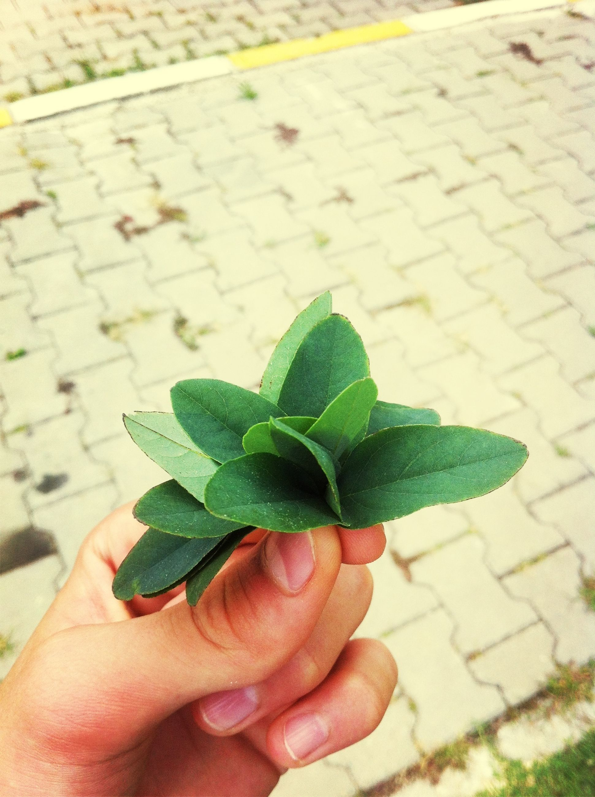 leaf, person, personal perspective, part of, green color, unrecognizable person, holding, street, leaf vein, close-up, cropped, focus on foreground, plant, day, outdoors, human finger, lifestyles