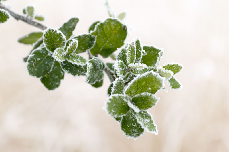 Beauty Beauty In Nature Branch Close-up Cold Temperature Frost Green Color Herbal Medicine Ice Lifestyles Nature No People Outdoors Plant Snow Snowflake Tree Winter
