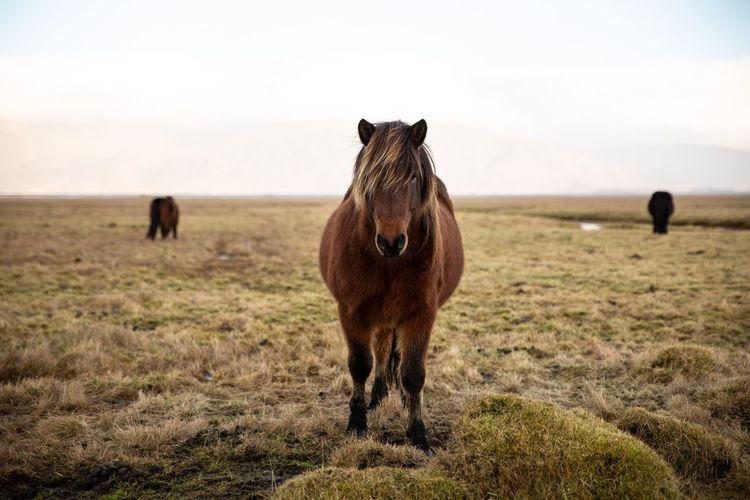 Iceland Iceland Horse EyeEm Selects Mammal Animal Themes Animal Domestic Animals Livestock Vertebrate