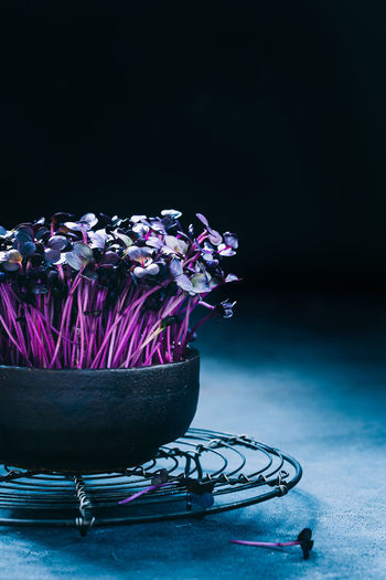 purple cress, microgreen light and shadow   daylight foodphotography Freshness Purple Studio Shot No People Close-up Food Wellbeing Healthy Eating Vegetable Black Background Copy Space Still Life Bowl Cress Kresse Purple Cress Food Photography Microgreens Foodphotography Daylight Photography Plant Light And Shadow Nikonphotography Superfood Moody