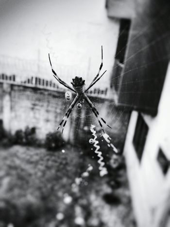 Shades Of Grey Spiders Arachnid Photography Itsy Bitsy Spider Black And White Black And White Collection  Black And White Photography Arachnid Costa Rica Nature Lover