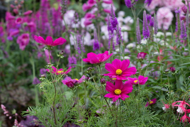 Beauty In Nature Blooming Cerise  Day Flower Flower Head Focus On Foreground Fragility Freshness Growth In The Garden Nature Outdoors Petal Pink Pink Color Plant Purple